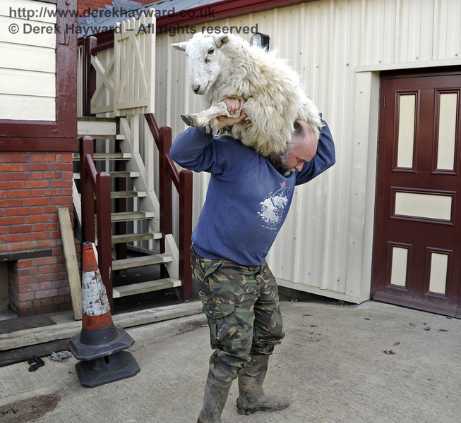 After exercising the station staff the sheep was too tired to walk back, so an obliging farmer collected it from the signal box.  It appears to be smiling....  10.03.2012  3791