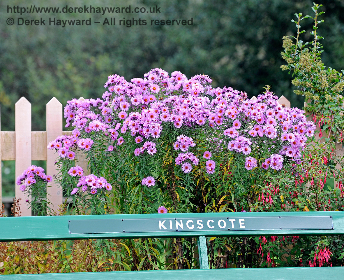 The Michaelmas daisies are in full bloom at Kingscote.  10.10.2015  12184