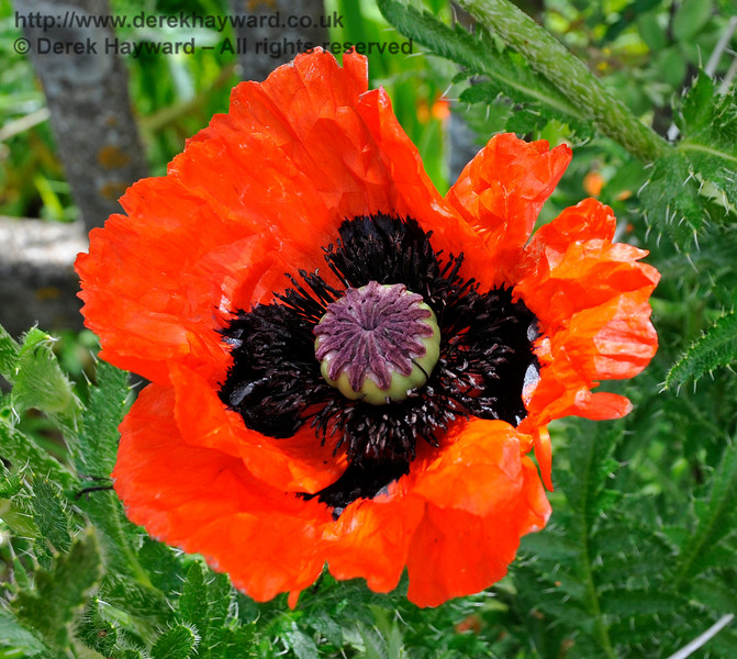 One of a very attractive display of poppies at Kingscote. 27.05.2017 17298