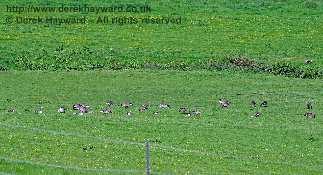 Herds of deer are quite common near Kingscote, but a large gaggle of geese was a new one on me.  I could not decide if they were wild or domesticated.   Mill Place Farm 27.05.2017 15496