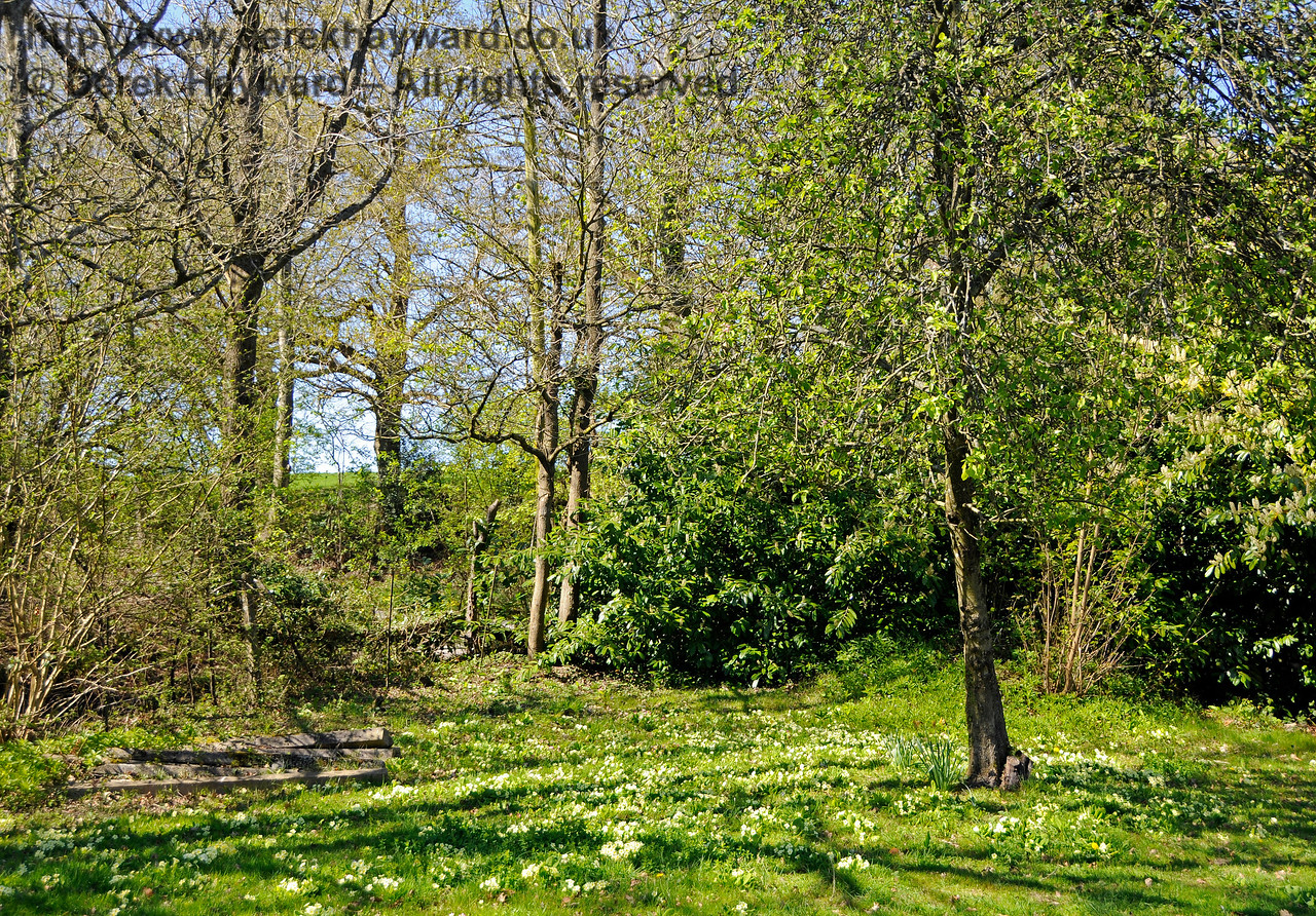 A carpet of primroses in an area of the station garden at Kingscote that is not in public view. 09.04.2017 17098