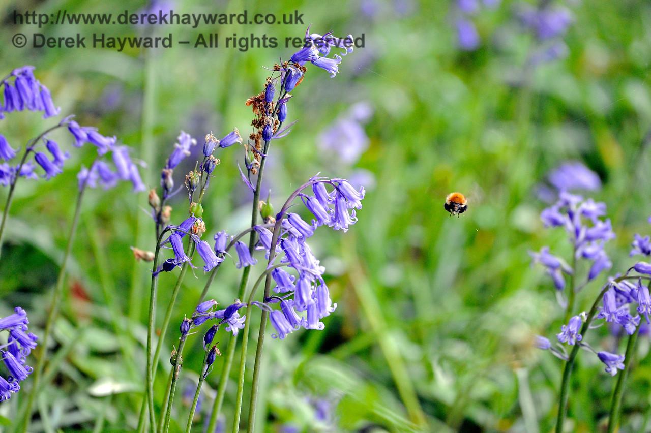 A bumble bee caught amongst the bluebells at Birchstone Bridge. 14.05.2017 15259