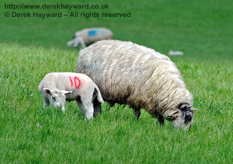Lambs are  now in the fields near Kingscote, which is something else for the children to enjoy as they travel the line. 14.05.2017 15268   For the avoidance of doubt this was taken with a very long lens.  Please respect our neighbours and keep well clear of young livestock.