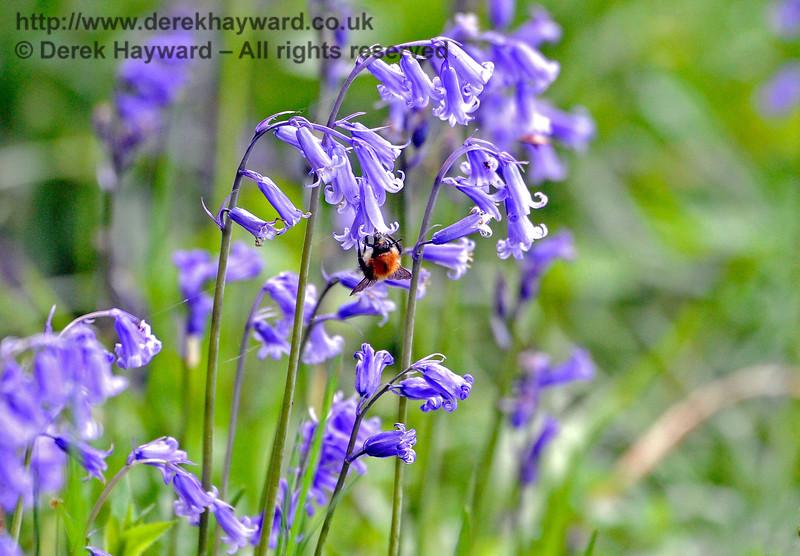 A bumble bee caught amongst the bluebells at Birchstone Bridge. 14.05.2017 15261