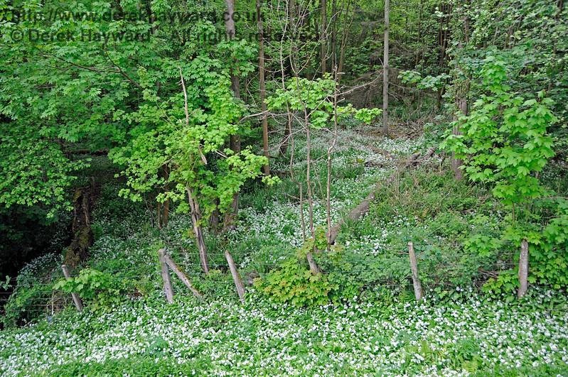 Woodland flowers near Kingscote. 14.05.2017 17222
