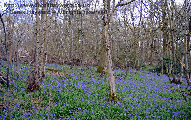 Bluebells in the woods at Freshfield.  Unfortunately the lineside display this year is disappointing, but the primroses have been quite excellent.  Bluebell Railway Diesel Gala, in association with GBRailfreight. 17.04.2016  14878