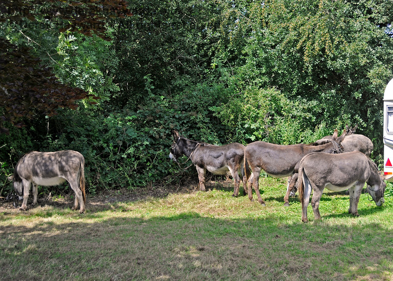 Off duty, the donkeys tucked into the hedge and grass with gusto.  A PTS course will be arranged with a view to forming an additional lineside clearance team.  Horsted Keynes  01.08.2015  13336