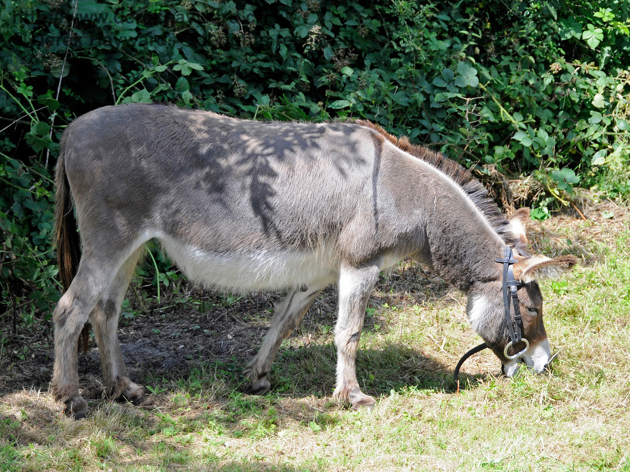 Off duty, the donkeys tucked into the hedge and grass with gusto.  Horsted Keynes  01.08.2015  13339
