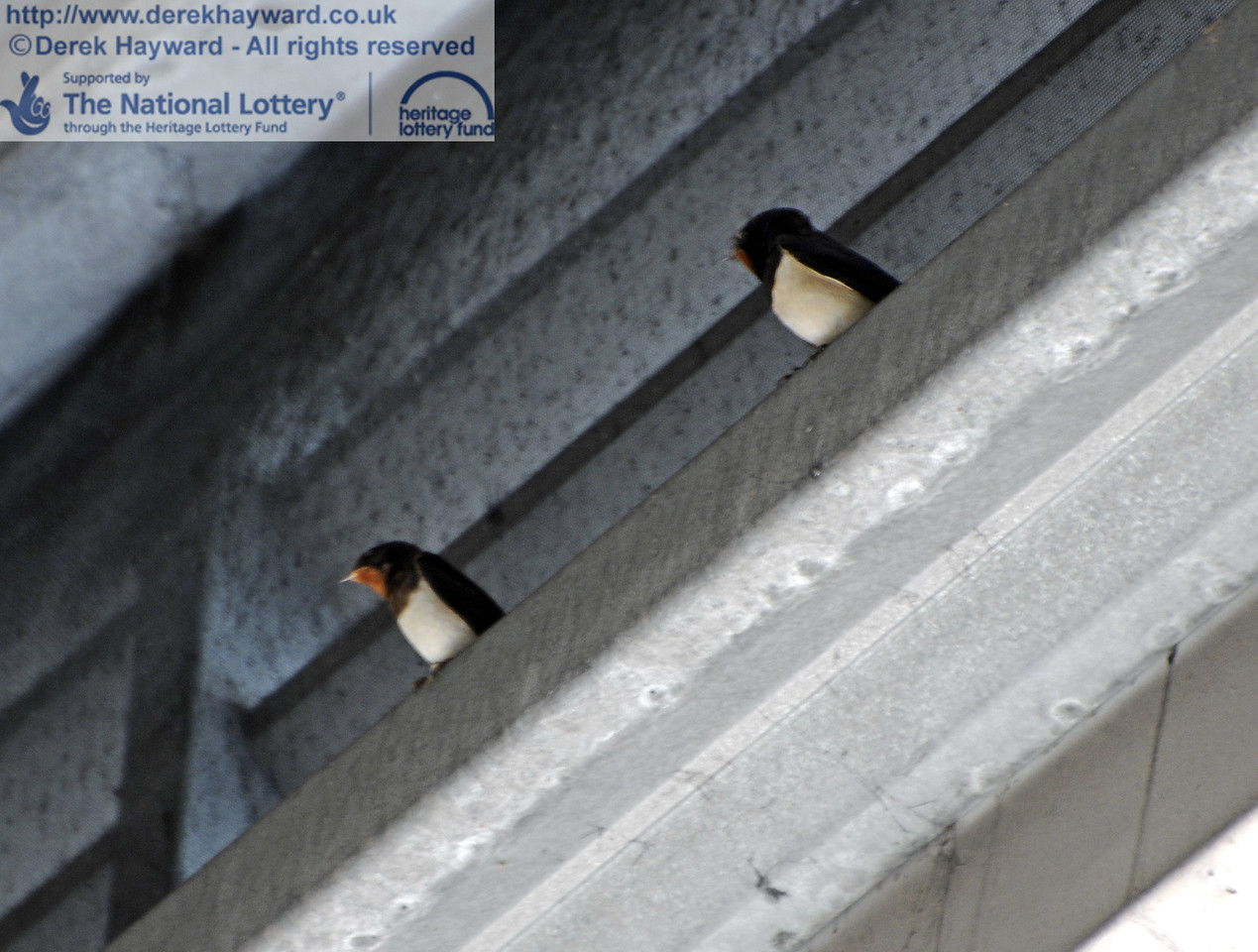Not the best of images (I was not equipped for a fly-past) but swallows are now beginning to occupy the upper reaches of the Carriage Shed.  They were only still for seconds and flew at an astonishing speed in the confined space catching flies.  16.06.2012  8115