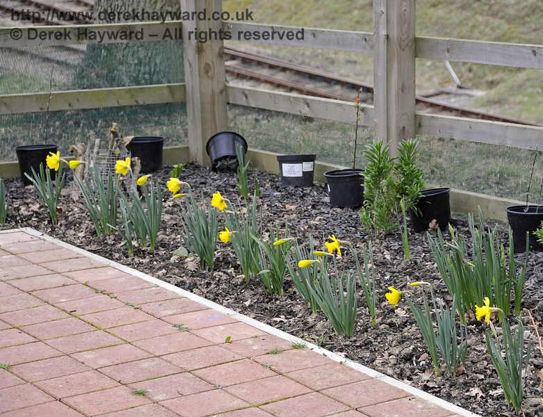 The daffodils are also flowering.  Foot marks betray the fact that some people are still treading on the planted beds to view or photograph trains.  There are other suitable vantage points for this.  Please respect the area.  20.03.2012  3876