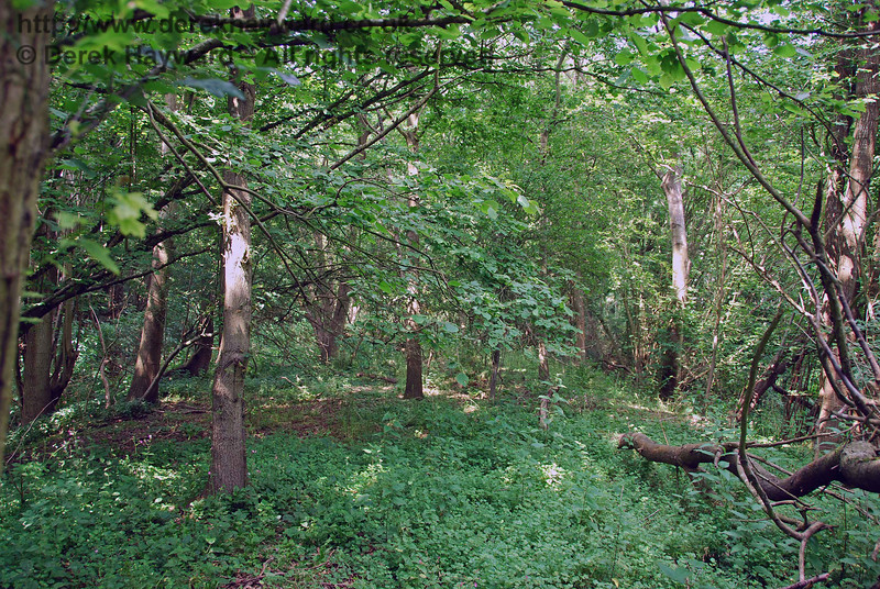 Entering the undergrowth seen in the distance in the previous picture the going gets rather difficult again.  This view looks north towards the tunnel.  The route is blocked in places and significant diversions were necessary before a sequence of pictures could be produced. A 1951 photograph of 80016 was taken by S C Nash at about this point, but the area was nice and clear then.