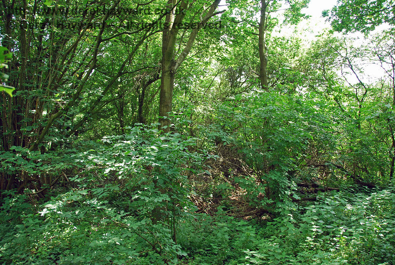 The embankment remains overgrown south of Cinder Farm, this view looking south into the jungle.