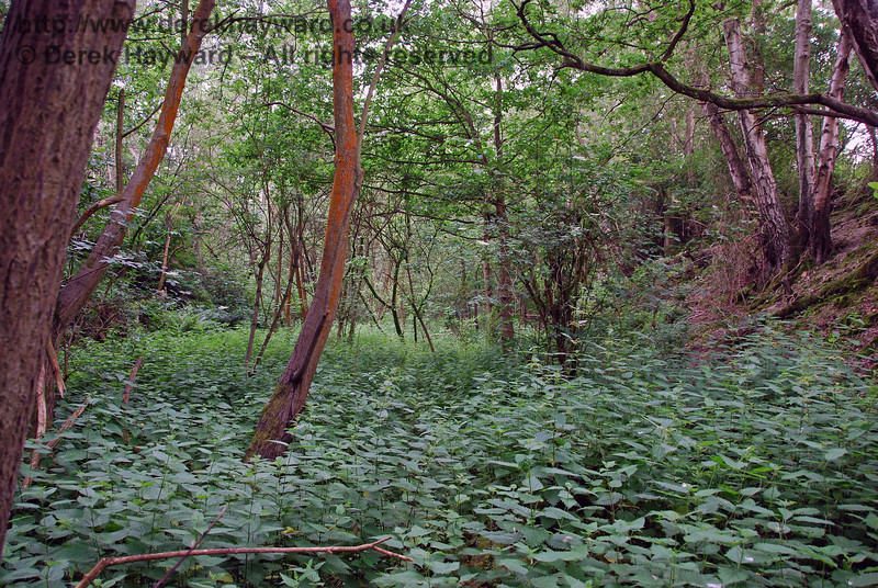 An accommodation bridge gave access over the railway adjacent to Tomkins Barn (which has also been demolished), but finding the bridge in the nettles and brambles was something of a challenge.  This view looks south down the overgrown cutting.