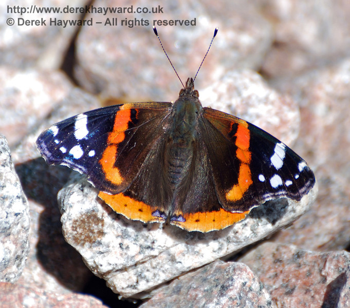 A Red Admiral butterfly warms itself on the new ballast near Ashlea Farm.  18.07.2010  30008