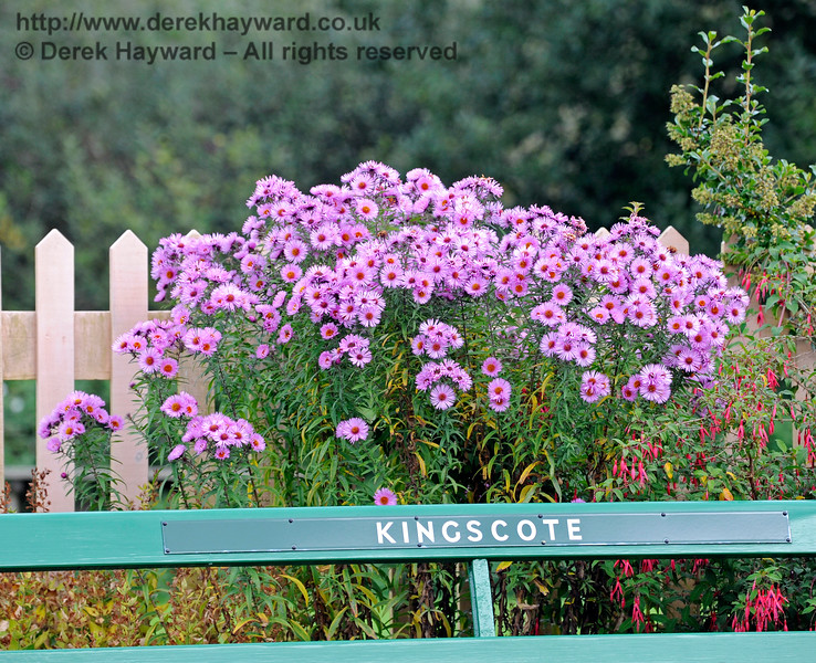 Michaelmas Daisies in full bloom on Platform 2 at Kingscote.  10.10.2015  12184