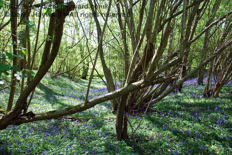 The woods adjacent to Ketches Halt have an excellent display of bluebells almost every year. 26.04.2009