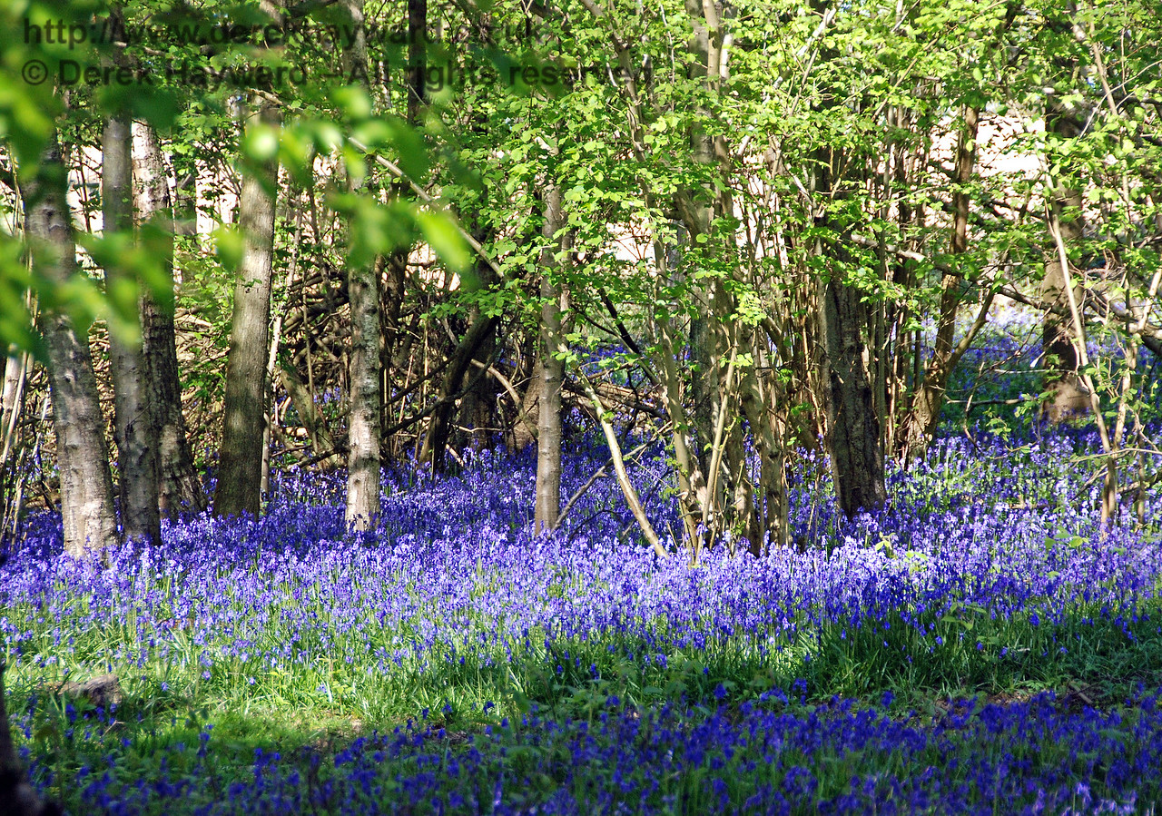 The woods adjacent to Ketches Halt are full of bluebells. 26.04.2009
