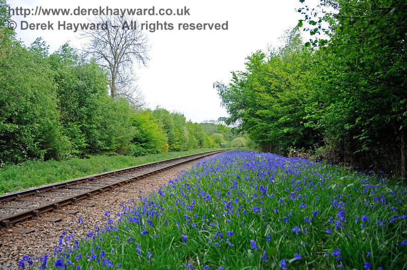 A view of the same bank of bluebells, this time looking south, taken a week earlier than the previous picture.  28.04.2011 6917