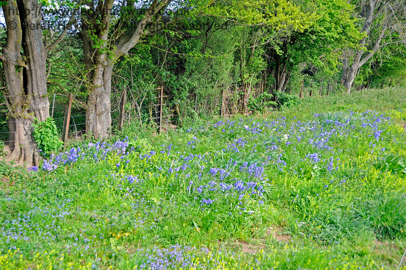 Bluebells at Ketches Halt  06.05.2017 17126