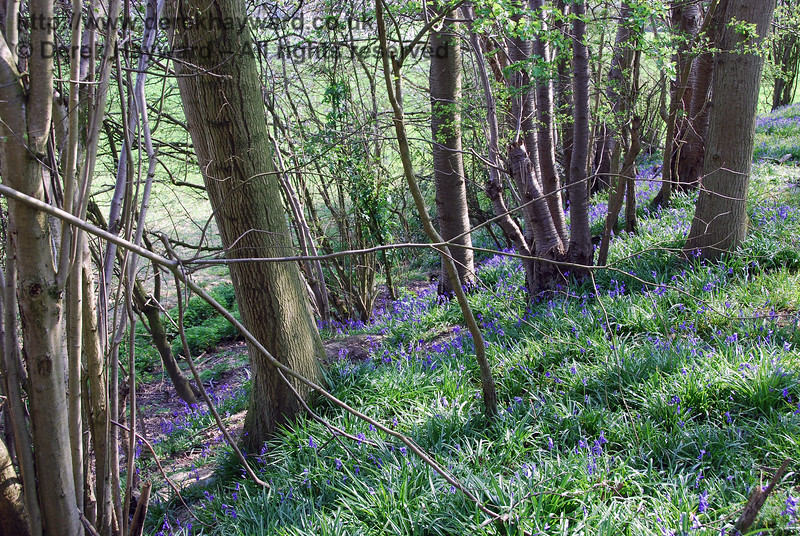 Bluebells in the wood on the abandoned embankment leading to the ruined Town House Farm occupation bridge. 15.04.2007
