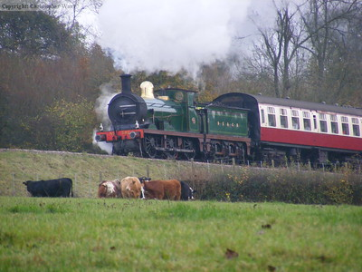 592 is ignored by the cows as she approaches with the up Wealden Rambler