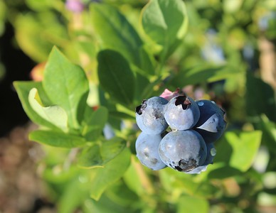 Berry, Blueberry 'Rebel' Berries