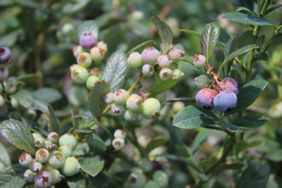 Blueberry 'Misty' Berries
