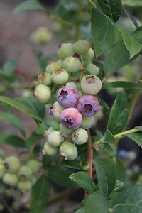 Blueberry 'Coville' Berries