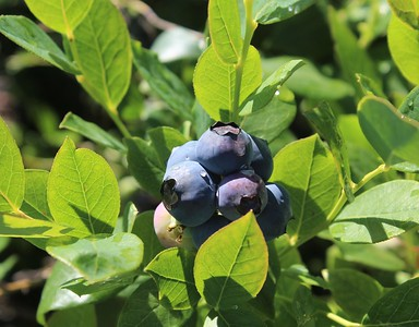 Berry, Blueberry 'Rebel' Berries (2)