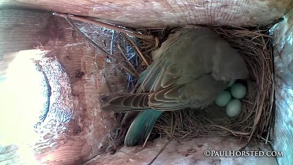 Bluebirds 5 23 18