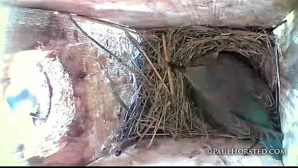 Bluebirds hatching 5 28 18 v2