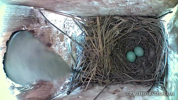 Bluebirds 5 12 18 3 eggs now