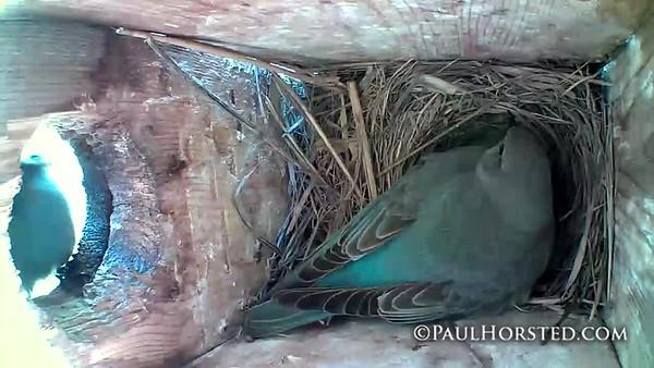 Bluebirds 5 30 18 let me help