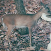 Skitter - Runt Deer That Visited for Over a Year - November 2001