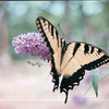 Eastern Tiger Swallowtail Butterfly on Blooming Butterfly Bush - July 2001