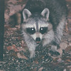 Raccoon at Feeder - Nov. 2001