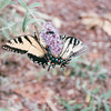 Eastern Tiger Swallowtail Butterfly on Butterfly Bush - July 2001