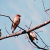 Cedar Waxwings Migrating Through Backyard  4-2-01