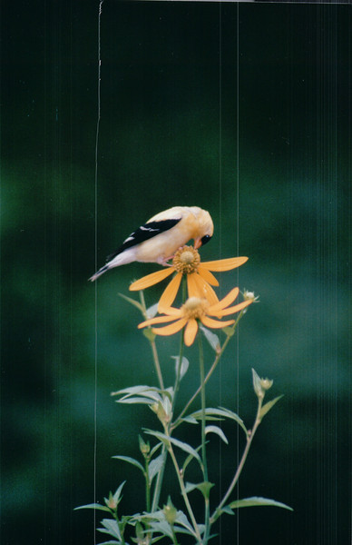 American Goldfinch on Green-headed Coneflower - Aug. 2003