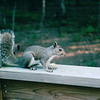 Squirrel on Deck - July 2003