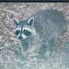 Raccoon Outside Kitchen Window - June 2003
