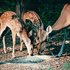 Twin Fawns and Mom - August 2002