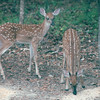 Two Fawns - August 2002