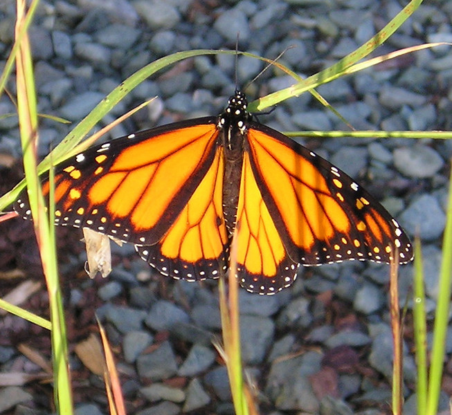 Morning Stretch for the Monarch Butterfly