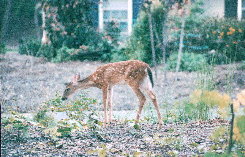 Fawn in Front Yard at Daybreak - Summer 2004