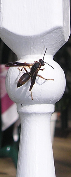 Wasp on Front Porch Spindle