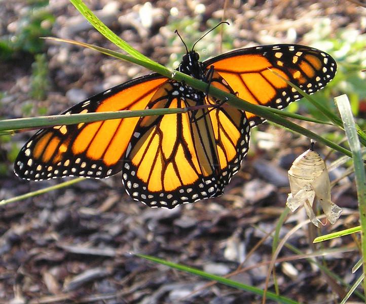 Monarch Butterfly Underside with Chrysalis Beside