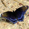 Red-Spotted Purple Admiral Butterfly on Our Walkway