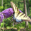 Eastern Tiger Swallowtail Butterfly on Butterfly Bush