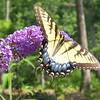 Eastern Tiger Swallowtail Butterfly on Butterfly Bush
